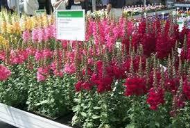 snapdragon flowers ky garden flowers antirrhinum to artemesia