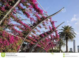 bougainvillea vines in flower stock photo image 56464528