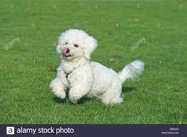 bichon frise funny dog bichon frise running stock photos u0026 dog bichon frise
