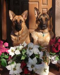 580 best german shepherd dogs images on pinterest german