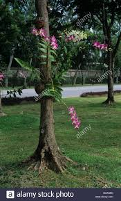 tree orchid stock photos u0026 tree orchid stock images alamy