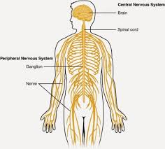 Nervous System Human Anatomy Blank Diagrams Of Nervous Systems Human Body Nervous System