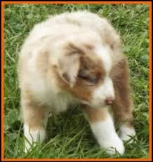 australian shepherd 6 weeks jessie u0027s litter 2 pup3 blue eyed red merle male miniature