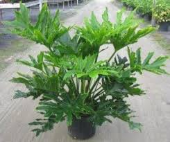 selloum philodendron is the common name of this striking tropical