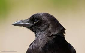 corbeau bureau tlcharger fond d ecran oiseau corbeau voir profil fonds d ecran