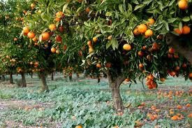 image result for israeli fruit trees trees orange