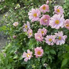 fleurs vivaces rustiques plantes vivaces fleuries plantes et jardins