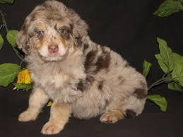 3 australian shepherd mix puppies for adoption aussiedoodles