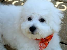 bichon frise 17 years old bichon pictures