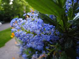 seattle flowers file ceanothus flowers in seattle jpg wikimedia commons