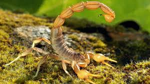 scorpion tail up ngsversion 1396530852780 jpg
