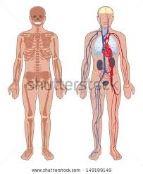 Picture Of Human Anatomy Body Human Internal Organ Stock Images Royalty Free Images U0026 Vectors