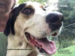 bluetick coonhound west virginia view ad great dane treeing walker coonhound mix dog for adoption