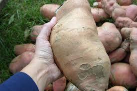 Freezing Root Vegetables - freezing sweet potatoes grow cook eat