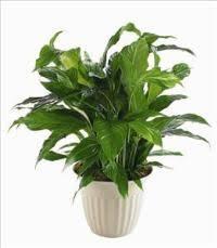 funeral plants funeral service arrangements green plants funeral flowers
