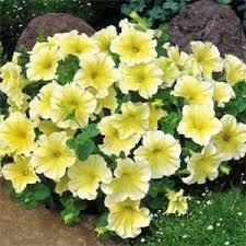 petunia flowers petunia grandiflora seed yellow petunia flower seeds