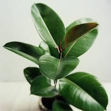 low light houseplants 10 best houseplants for low light ficus elastica rubber plant