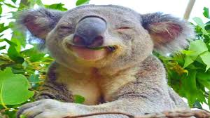 Angry Koala Meme - koalas being koalas collection youtube