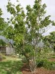 Image result for Sapindus saponaria