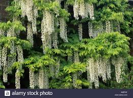 wisteria sinensis australian bush flower wisteria sinensis alba white flowers stock photos u0026 wisteria