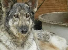 belgian sheepdog wolf mix german shepherd wolf cross bread