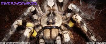 care information indian ornamental p regalis reptile forums