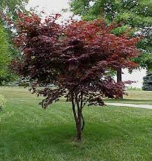 a japanese maple tree is if you don t want real large