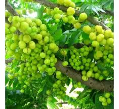 buy amla small at cheap price india s plants and