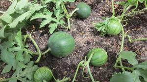 how to prune watermelon plants youtube