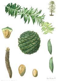 araucaria bidwillii bunya pine description