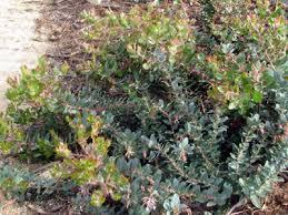 Shrub With Fragrant Purple Flowers - favorite california native plants