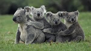 Koala Bear Meme - cute but wild basic facts about koala bears funny pictures
