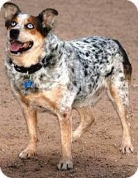 australian shepherd boxer mix lucky adopted dog gilbert az australian shepherd australian