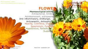 calendula pot marigold benefits garden marigold youtube