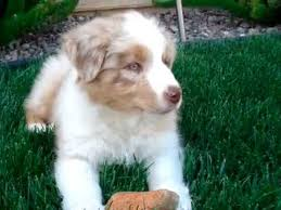 d b australian shepherds australian shepherd puppy youtube