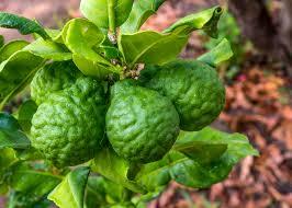 how to grow a kaffir lime tree gardensall