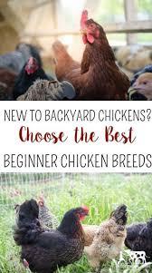 best backyard chicken new to backyard chickens choose the best beginner chicken breeds