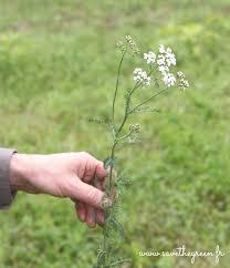 cuisiner les herbes sauvages cueillette et cuisine des plantes sauvages
