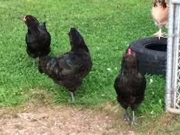 black ameraucana hen or rooster backyard chickens