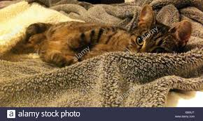 Furry Blanket Tabby Cat On A Furry Blanket Stock Photo Royalty Free Image