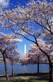 8 facts about washington dc u0027s cherry blossom festival roadtrippers