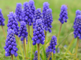 hyacinth flower grape hyacinth flower of the day hgtv