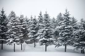 8 things for the holidays you didn t about pine trees