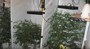 light requirements for growing tomatoes indoors growing herbs indoors indoor hydroponics black dog led