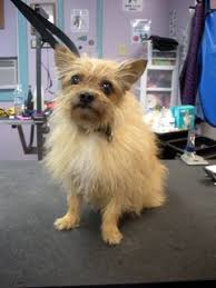 shorkie hair styles more before after groom pics