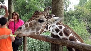 feeding giraffes at fort wayne children u0027s zoo youtube