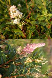 indiana native plants wild native shrub suitable for home landscape plantings purdue