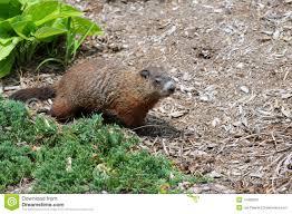 young groundhog stock photo image 47451652