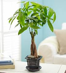 house plant trees pictures solidaria garden