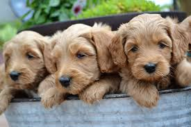 star light ridge labradoodles